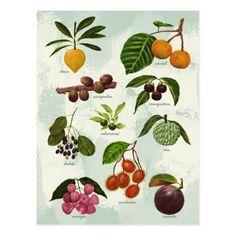 Shop Handpainted Exotic Filipino Tropical Fruits Postcard created by asianpopcorn. Exotic Fruit, Tropical Fruits, Tropical Garden, Star Apple, Filipino Art, Fruit Illustration, Fruit Painting, Fruit Art, Botanical Art