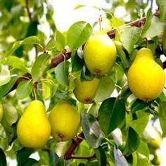 Flordahome Pear Tree, Pear Trees, Free Pear Tree Video, Low Pear Tree Price http://www.tytyga.com/Flordahome-Pear-Tree-p/flordahome-pear-tree.htm