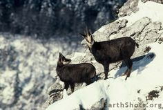 Female Chamois and Her Young by Marguet Pascal