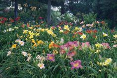 mass plantings of daylilies