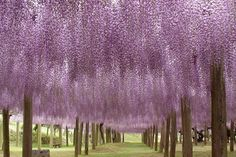 Under a sea of wysteria... Kawachi Fuji Gardens in Kitakyushu, Japan sooo beautiful its unreal.