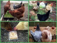 Healthy and Creative Treats for Chickens
