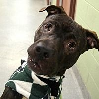Pictures of BRICK a Pit Bull Terrier for adoption in New York, NY who needs a loving home.