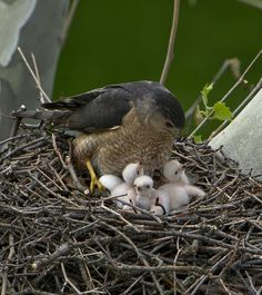 Male Cooper's Hawk with 3 chicks by Thomas Muir, via Flickr.  He is still sitting on two eggs.