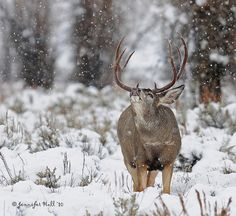 Winter Storm Mule Deer Buck - 4216bsg by teagden, via Flickr