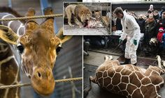 Danish zoo kills healthy baby giraffe deemed 'surplus' and feeds him to the lions. Stop supporting zoos!!
