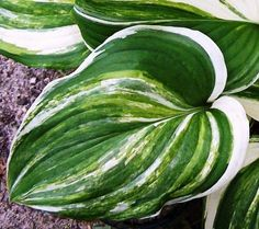 Hosta 'Simon Says Shout'