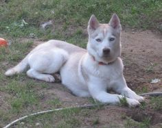 Maya was our very first foster for ASHR