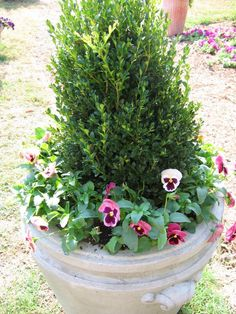 A simple winter container is a small boxwood or evergreen in stone (or faux) container surrounded by pansies. It's easy to under-plant the pansies with small spring-flowering bulbs such as muscari (grape hyacinths).