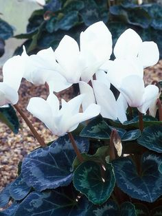 Winter Flowers for Indoor Gardens- Brighten your home with a few of these cheery houseplants. | 'Sierra White' cyclamen 9 inches high, 8 inches wide. Ideal growing conditions: partial shade, water lightly.