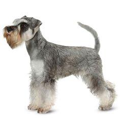 Miniature Schnauzer Facts | Dog Breeds | Petplan