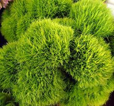 My Kind Of Flowers . Green Trick Dianthus . !