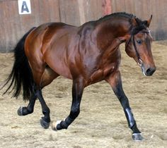 """The progeny of the cross of Maremmano, Salernitano and Persano horse with Anglo Arabo Sardo, Purosangue Orientale, Arabian and Thoroughbredhorses can be registered as Sella Italiano if they can pass a """"performance test"""". Furthermore the stud book is open to other European warmbloods if they can pass the performance test and be approved by the breed registry. The breed is intended to produce a sport horse which can compete successfully at the international level."""