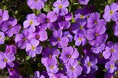Mauve Flowers (4541324498)