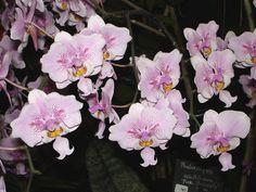 Phalaenopsis Schilleriana Pink Butterfly | Phalaenopsis schilleriana 'Pink Butterfly' | Flickr - Photo Sharing!