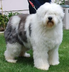 Happiness is an Old English Sheepdog!