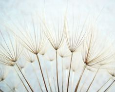 Nature photography - delicate seeds natural dandelion art neutral pale blue wall art white naturalist fine art nature photography - Whisper on Etsy, € Botanical Wall Art, Botanical Prints, Fine Art Photography, Nature Photography, White Photography, Amazing Photography, Dandelion Wall Art, Dandelion Seeds, Horizontal Wall Art