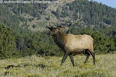 Rocky Mountain elk (Cervus canadensis) became the official State animal of Utah in 1971. Called 'wapiti' by the Shawnee Indians, elk are members of the deer family and associate closely with the deer and moose of Utah. Elk once inhabited most of the USA, but are now found only west of the Rocky Mountains (elk are plentiful in the mountain ranges of Utah).