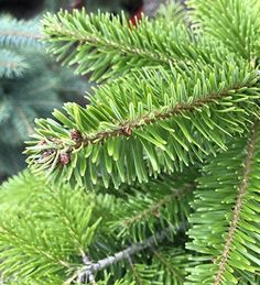 Potted Mini Nordmann Fir, with its compact size and distinctive blue spines, this is great if you're short on space. Buy today.