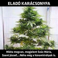 Let's decorate this Cannabis Xmas tree! Marijuana, the perfect gift for Xmas…