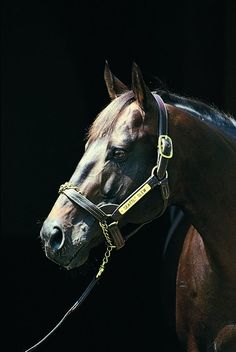 Seattle Slew~Only Undefeated Triple Crown Winner