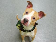 TO BE DESTROYED - 05/04/14  Manhattan Center    TIESAN - A0997237   MALE, TAN / WHITE, PIT BULL MIX, 3 yrs  STRAY - STRAY WAIT, NO HOLD  Reason STRAY   Intake condition NONE Intake Date 04/20/2014, From NY 10457, DueOut Date 04/23/2014 Main thread: https://www.facebook.com/photo.php?fbid=792363437443204&set=a.617938651552351.1073741868.152876678058553&type=3&permPage=1