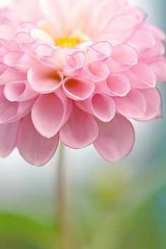 Pink dahlia Happy Birthday to our Nan Nan. She would have been 93 today. We miss you and honor you with this, your favorite flower. Dahlias, Dahlia Flowers, Zinnias, Ranunculus, Daffodils, Yellow Flowers, Pink Roses, Tulips, Beautiful Flowers Pics