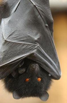 Bat with orange eyes!
