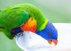 https://flic.kr/p/G4sGDA | Feeding time for Rainbow Lorikeet | This is another one.  There is a special nectar formula in the milky status (so can't see well).  Wild Lorikeets love it so much and come around people holding the tray.   At Currumbin Wildlife Sanctuary, QLD Australia
