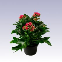 Keskenylevelű korallvirág, Kalanchoe 'Taranta' 10 cm magas 12cs Good To Know, Gardening, Plants, Ideas, Lawn And Garden, Plant, Thoughts, Planets, Horticulture