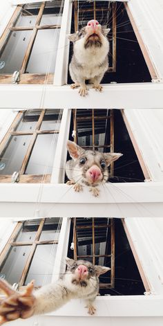 I was told to post this here A local Brisbane brushtail possum that stops by my window every now and then :) #aww #cute #cutecats #dinkydogs #animalsofpinterest #cuddle #fluffy #animals #pets #bestfriend #boopthesnoot