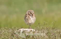 A Burrowing Owl resting on one leg sitting on a mound watching over the burrow waiting as its mate tends to the owlets underground in the nest.