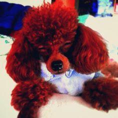 @atchongbricket-#poodle #cameran #cameranapp