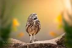 Burrowing Owl by rudy_serrano via http://ift.tt/2jkpQjD