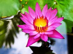 Gambar Bunga Teratai Muncul Dari Air