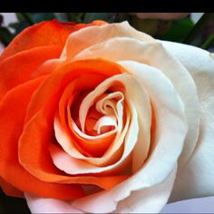 Tennessee orange and white rose