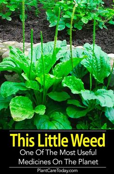 20 Medicinal Herbs to Grow (Make Your Own Herbal Remedies with Plants You Grow! Herbal Medicine, Natural Medicine, Medicinal Weeds, Edible Wild Plants, Herbs For Health, Health Tips, Wild Edibles, Healing Herbs, Herb Garden