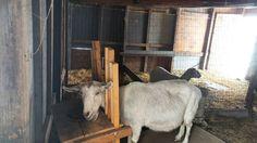 Oh hey Lilly  #therestoringsimplehomestead #goatstagram #goatsofinstagram #barnlife #homesteadlife http://ift.tt/2m9DjwF