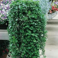 EMERALD FALLS DICHONDRA , it is heat and drought tolerant, needing only sun and well-drained soil to survive