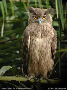 Dusky Eagle Owl (Bubo-coromandus) Pinned by www.myowlbarn.com