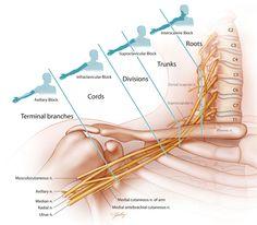 Cervical nerve divisions and branches. Jennifer Gentry Medical Illustration, Certified Medical Illustrator