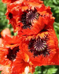 Papaver Orientale 'Turkenlouis' by TheSleepyRabbit on DeviantArt Red Perennials, Planting Poppies, Oriental, Colorful Flowers, Seeds, Orange, Denver, Plants, Deviantart