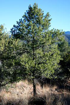 Pinus edulis (Pinon, nut pine)