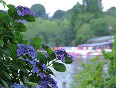 色とりどりのスワンボートに負けない、紫陽花ブルー。