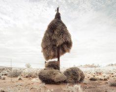 シャカイハタオリ  The Ploceidae's nest