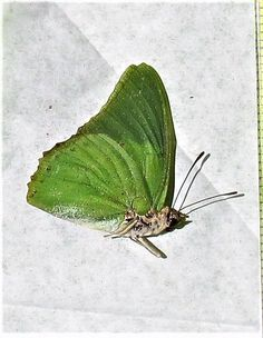 Lot of 20 Green Charaxes Butterfly Charaxes eupale eupale Male Folded  Fast USA