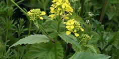 Σινάπι ή Λαψάνα (Sinapis) - bambakia.gr Organic Gardening, Seeds, Plants, Natural, Health, Black, Tape, Flowers, Math