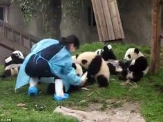 Fun! The nannies were filmed struggling trying to feed the animals as they fight for each ...
