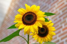sunflower-flowers-bright-yellow-46216.jpeg (6048×4032)
