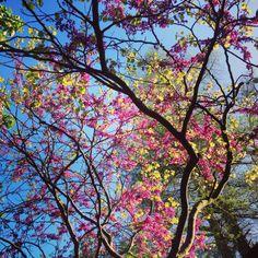 The Candyfloss Tree - so a pretty! #racheldaviesphotography #pretty #nature #bluesky #tree #blossom